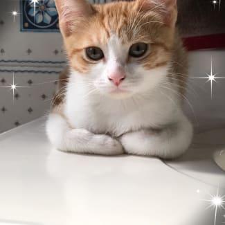 Tabitha ginger and white kitten