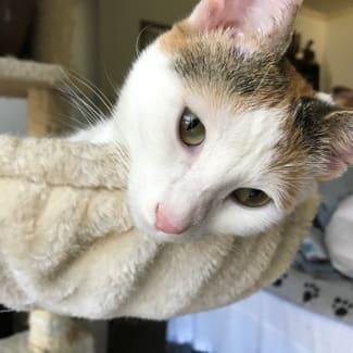 Coconut calico cat