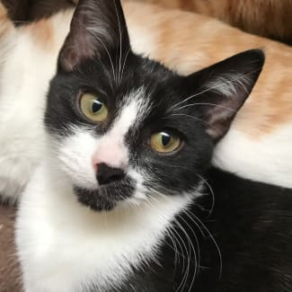Henri black and white kitten.