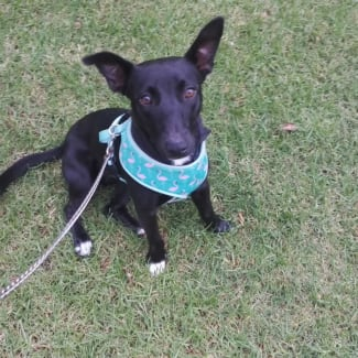 Theo ~ 1 year old Kelpie X Jack Russell