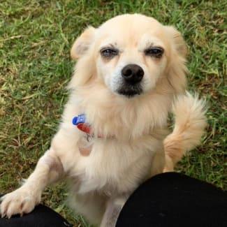 Cashew ~ 11 year old Chihuahua