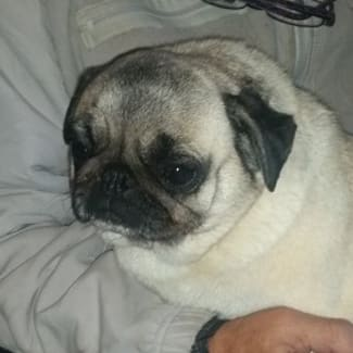 Pug Rescue & Rehoming Queensland & Northern NSW - PetRescue