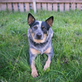 Cody ~ 1 & 1/2 year old Cattle Dog X