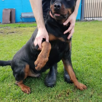 Rusty * Pure Rottweiler* Assisted Re-Home