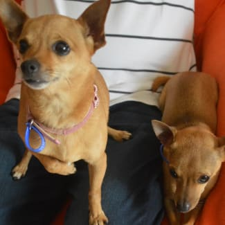 Lexi and Levi ~ bonded pair of Chihuahuas