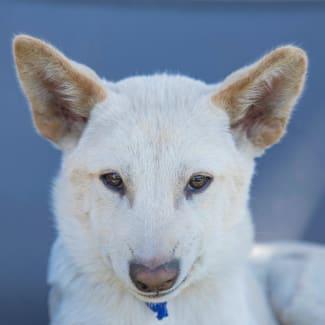 Oslo ~ Dingo x Cattle x  Staffy puppy