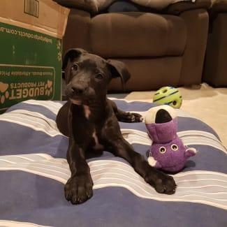 Tippy ~ sweet Mastiff X puppy