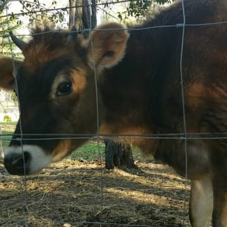 Pet cows and steers