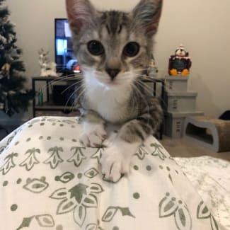 Dara **2nd Chance Cat Rescue**