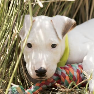 Benji ~ Great Dane x Bull Terrier puppy