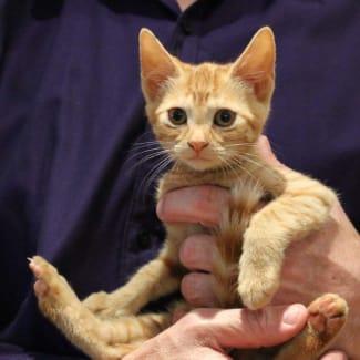 Chino ~ lovely male ginger kitten