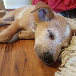 Puppy Sansa DL2369