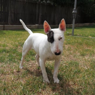 Ivy - NSW Bull Terrier Rescue