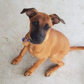 James ~ Italian Greyhound mixed breed puppy