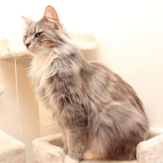 Female Maine Coon Mix