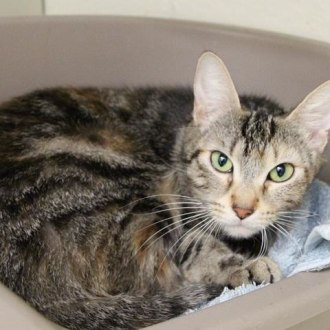 Female Domestic Short Hair