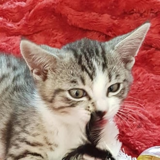 Male Domestic Short Hair Mix