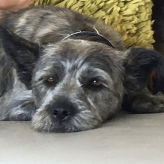 Medium Female Maltese x Staffy Mix Dog