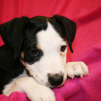 Medium Female Australian Bulldog x Border Collie Mix Dog