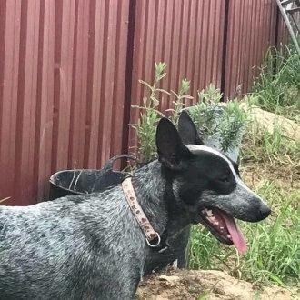Medium Female Australian Stumpy Tail Cattle Dog Dog