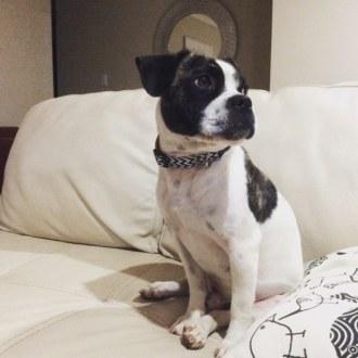 Small Male Boxer x Pug Dog