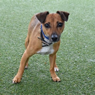 Small Male Jack Russell Terrier Mix Dog