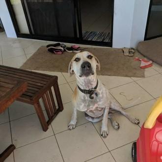Large Male Mastiff Mix Dog