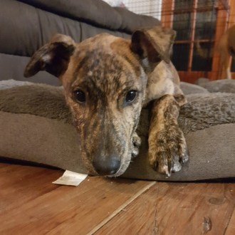 Large Female Greyhound Mix Dog