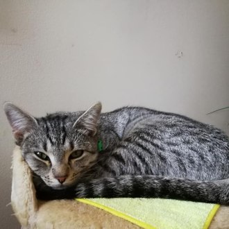 Female Abyssinian x Domestic Short Hair Cat