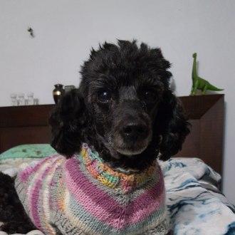 Small Female Poodle Dog