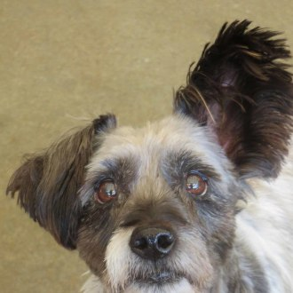 Small Male Silky Terrier Mix Dog