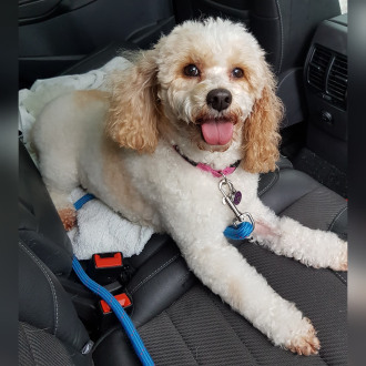 Small Female Cavalier King Charles Spaniel x Poodle Mix Dog