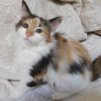 Female Domestic Long Hair Cat