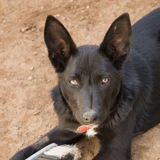 Medium Female Border Collie x Kelpie Mix Dog