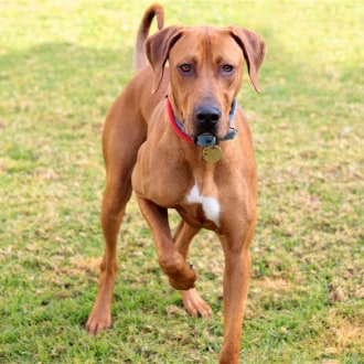 Large Male Rhodesian Ridgeback Mix Dog