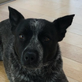Medium Female Blue Heeler Mix Dog