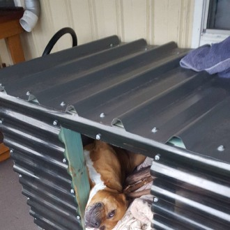 Medium Male Staffordshire Bull Terrier Dog