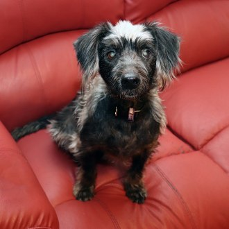 Small Male Australian terrier x Poodle Dog