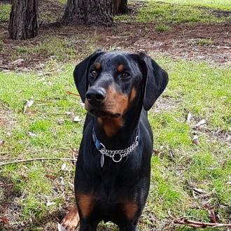 Large Male Doberman Dog