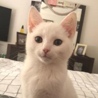 Male Domestic Short Hair x Turkish Van Mix Cat