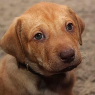 Medium Male American Staffordshire Terrier Dog