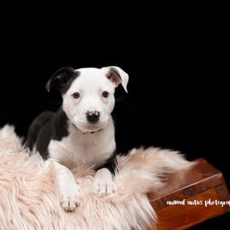 Medium Female Border Collie x American Staffordshire Bull Terrier Dog
