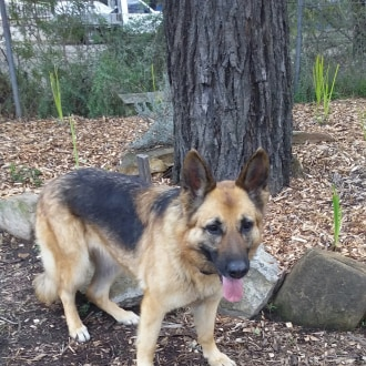 Large Female German Shepherd Dog