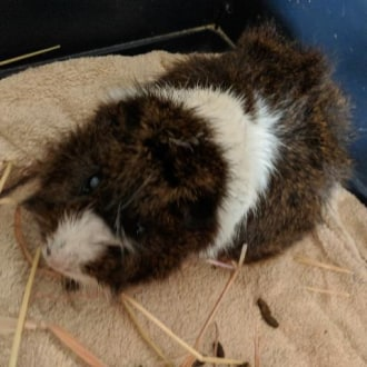 Male Short-hair Abyssinian Guinea Pig