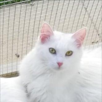 Female Angora x Domestic Long Hair x Turkish Van Mix Cat