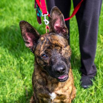 Large Male German Shepherd x Staffordshire Terrier Mix Dog