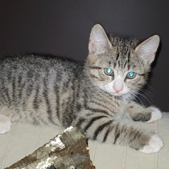 Male Domestic Short Hair Cat