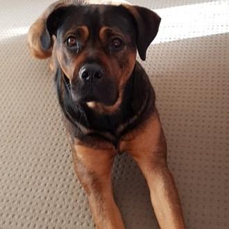 Large Female Rottweiler Dog