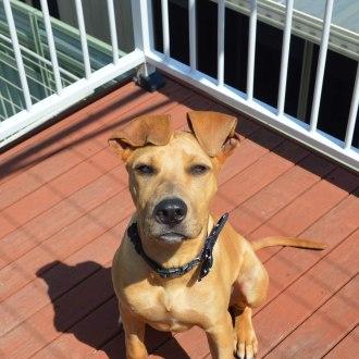 Large Male Great Dane Mix Dog