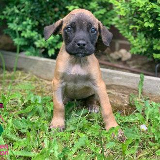 Medium Female Boxer Dog